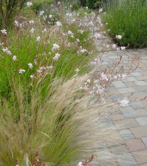 053114 Gaura ~ Gaura and Mexican Feather Grass Photo by Pamela Bateman Garden Design
