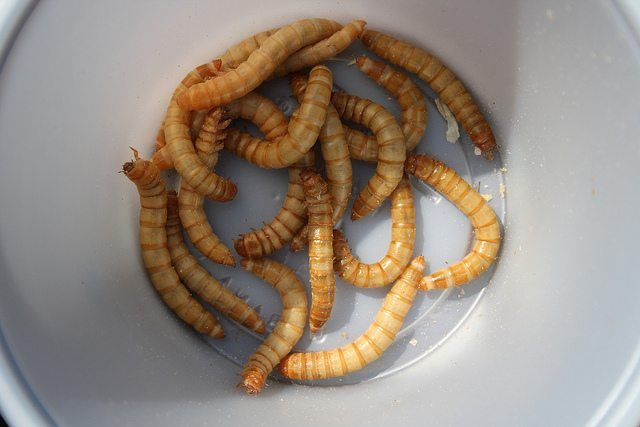 How To Breed Mealworms For Your Pets Wide Open Pets Your Pet Pets Mealworm Farm
