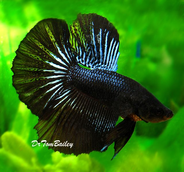 17 best images about betta fish on pinterest most for Betta fish sale