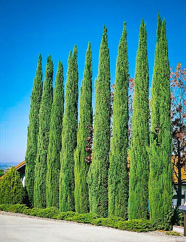 Buy Italian Cypress Online. Arrive Alive Guarantee. Free Shipping On All Orders Over $99. Immediate Delivery.
