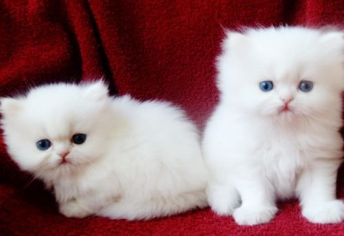 white teacup Persian Kittens  for the best homes