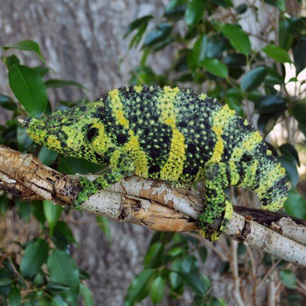 Mellers Chameleons For Sale