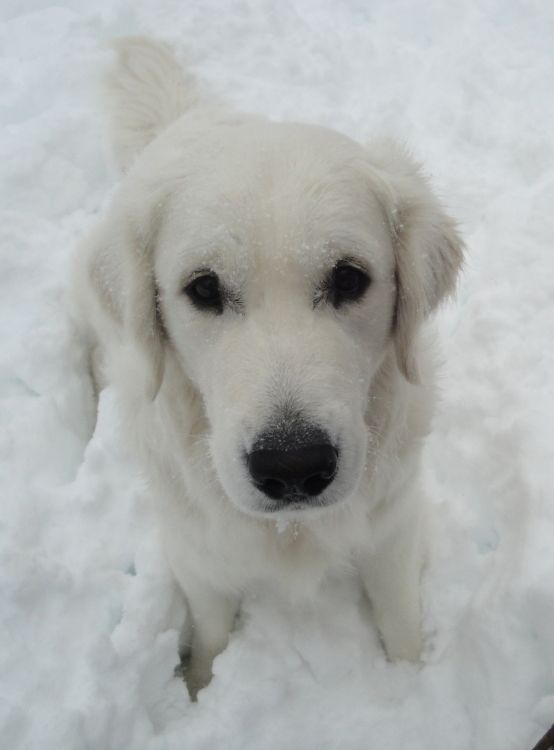 - cant wait to see my Fiona in the snow! English Cream Golden Retriever