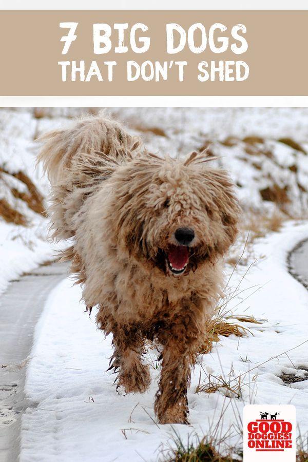 Large Dog Breeds That Don T Shed Dog Breeds That Dont Shed Dog