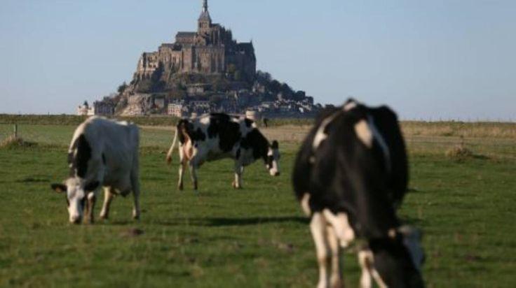 Climat: les vaches roteuses à l'avenir beaucoup moins pollueuses