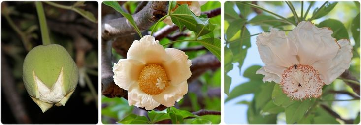 http://www.ecoproducts.co.za/baobab-trees-2/mysterious-life-baobab-flowers