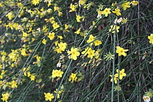 Jasminum nudiflorum   Jasminum mesnyi Hance