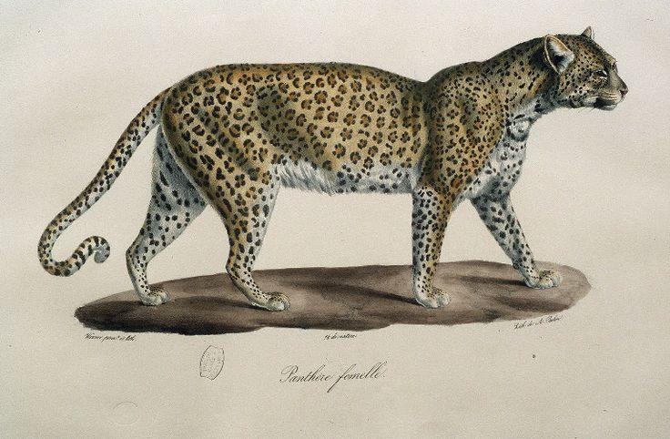img/histoire naturelle des mammiferes/Panthere femelle.jpg