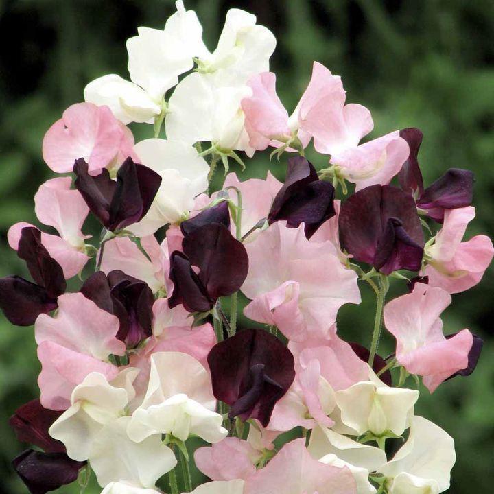 """En """"modern grandiflora"""" typEn elegant blandning av grädde, mjuk rosa färg och en härlig djup rödbrun. Höjd 1,8 m (6 '). Medium Scent. Sås januari-mars och september-oktober. Blommor juni-september och mitten av maj-augusti. HA - Hardy årligen.      Kan sås direkt utomhus     Stort i en vas eller en show     Upp till 4 blommor per stjälk!Genomsnittlig Växande Höjd: 150-200cmPerfekt klättrare. Doftande. Attraktiv för fjärilar. Lämp…"""