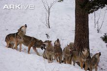 Eurasian wolf pack howling
