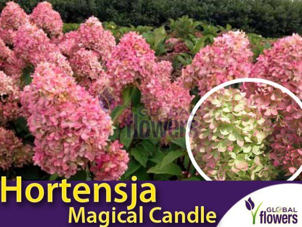 Hortensja bukietowa 'Magical Candle ®' - pod gabientem