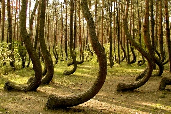 The Crooked Forest, Poland.   With their trunks all bent northward, these trees look like something straight out of a pretty uncomfortable fairy tale.