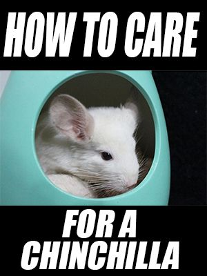 How to Care for a Chinchilla (& Happy New Year)