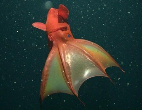 Glowing vampire squid | Fish and Ocean Creatures | Pinterest