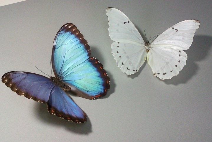 Morfo Azul y Blanco ,dos de las más bellas mariposas con que cuenta El Salvador.