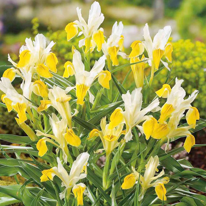 The 127 best plant identification images on pinterest candy corn iris bucharica bulbs 243800 all flower bulbs flower bulbs flowers garden dobies mightylinksfo