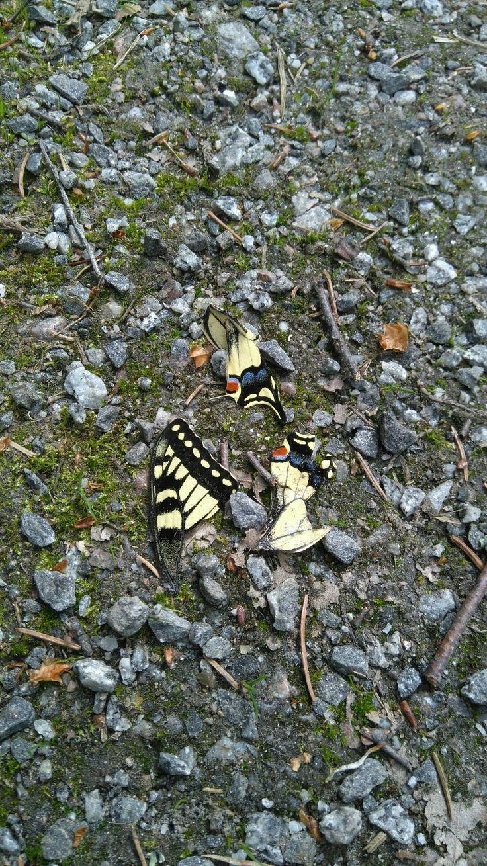Ritariperhonen Papilio machaon