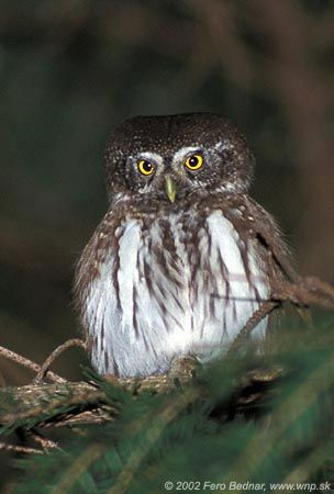 Eurasian Pygmy Owl (Glaucidium passerinum). Photo by Fero Bednar.
