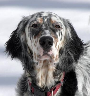<3 English Setter: English Settersdog, Dogs Breeds, Hunt'S Dogs, Sweet Baby, Setters Canes, Pet Animal, Baby Dogs, Setters Dogs, Animal Dogs