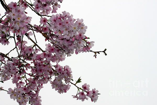 Cherry Blossoms in bloom at One Tree Hill, Auckland, New Zealand