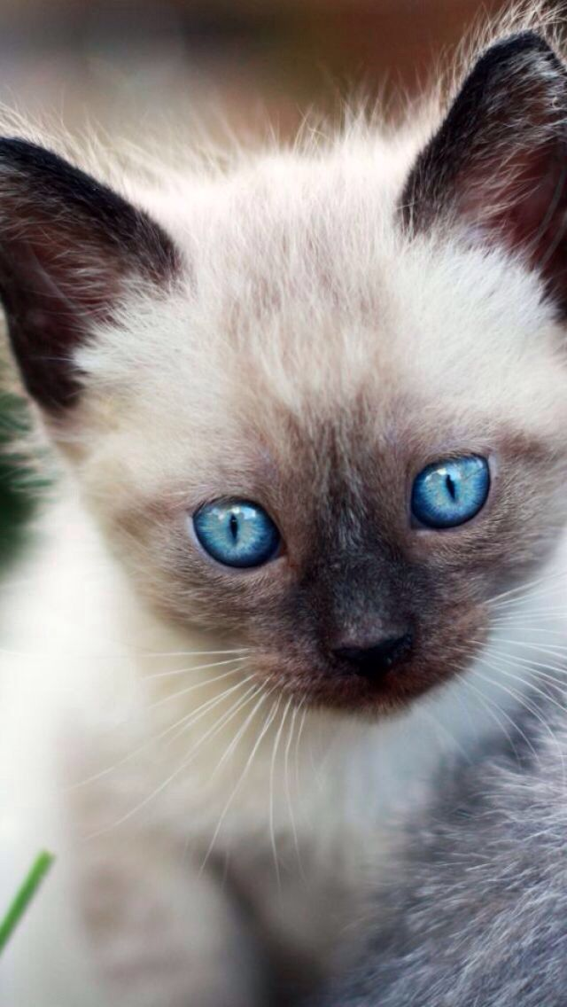 Heilige Birma Kitten <3