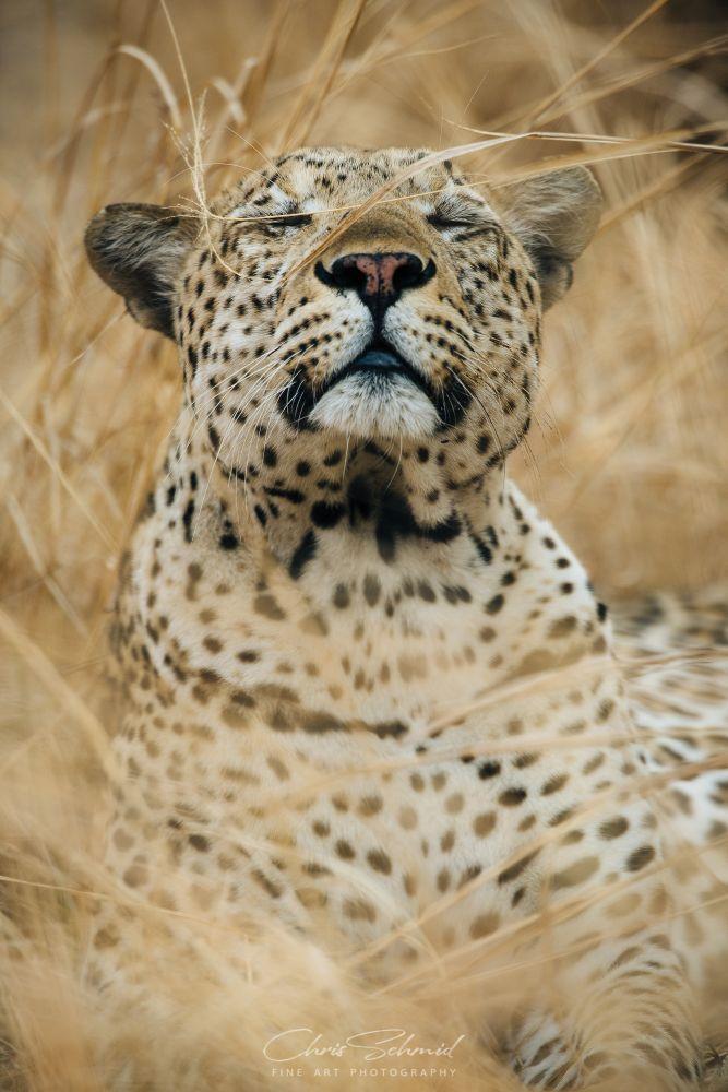 Leopard Love! by Chris Schmid on 500px
