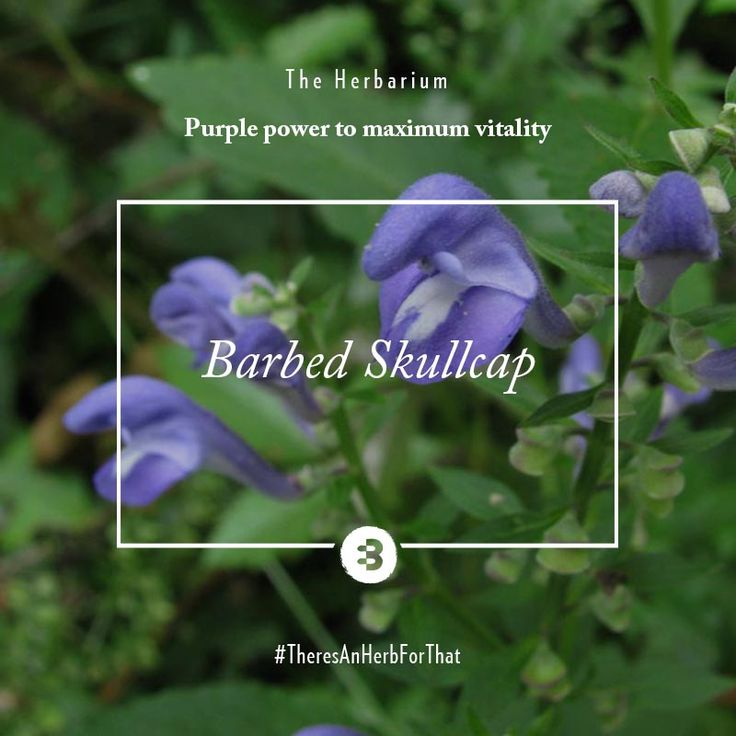 Don't be put off by the name - present in our Liver Health herbs, this plant, with its pretty purple bloom is your liver's best friend. Helping to balance liver function and improve the Qi (Energy) flow in the body, it's essential for maximum vitality. #TheresAnHerbForThat