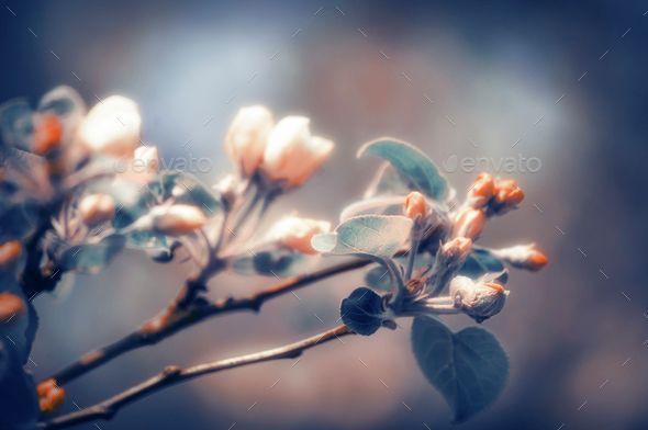 Blooming Apple Tree in Dpring Garden