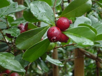 Red Strawberry Guava. Nothing too exciting to write about here... Just OK fruit (not bad, not good). Planted 1/2010