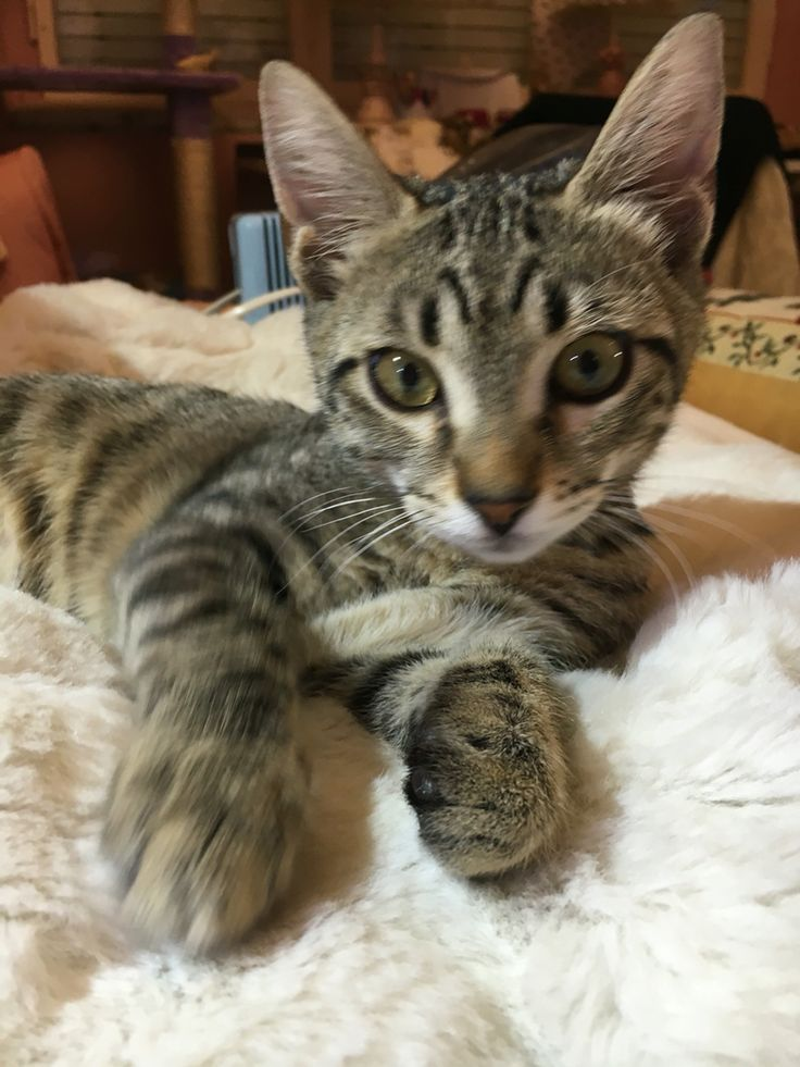 Hariel my cat
