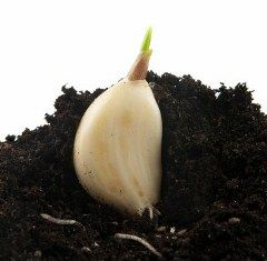 This is one of the best guides to growing garlic in containers that I have found.