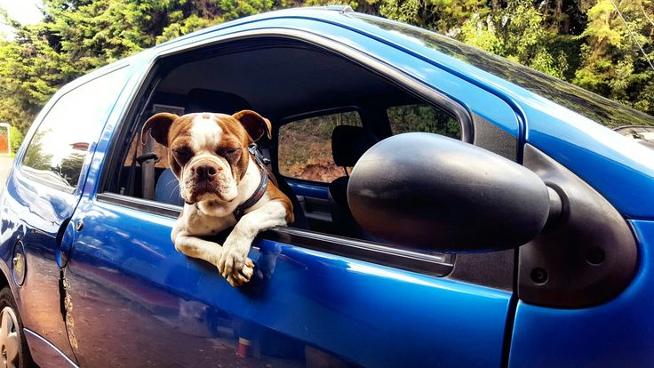 Hey dude! Hop in, weve got some shit to do.  Dog boston terrier