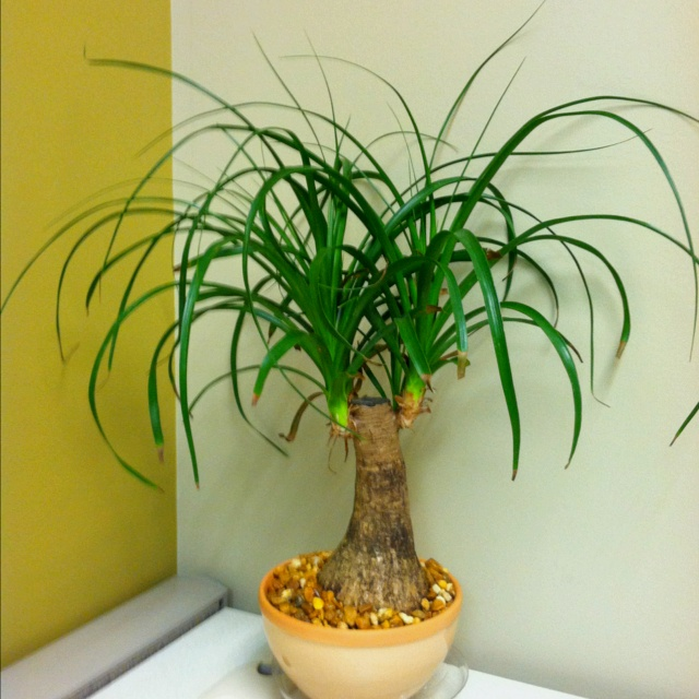 Pony tail palm tree, or elephants foot. Pretty neat and needs very little  watering. Like every 2 weeks.