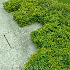 Pachysandra terminalis ´GREEN CARPET´japán kövérke - örökzöld talajtakaró, gyorsan nő