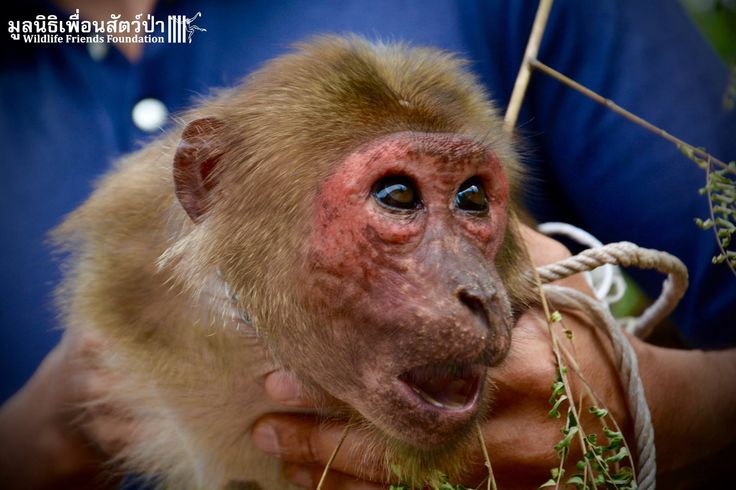 When Wildlife Friends Foundation Thailand (WFFT) learned about a stump-tailed macaque named Yaya, who was chained up outside of a taxi stand in front of a busy hotel, they knew they had to act fast…