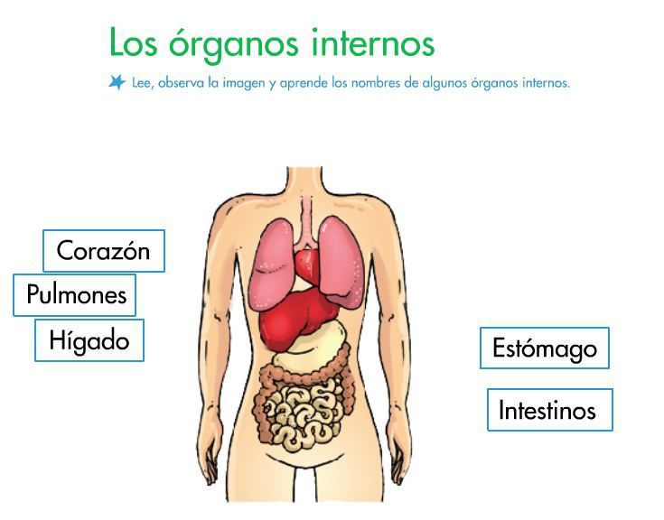 Los rganos internos realizan las funciones m s for El interior del cuerpo humano