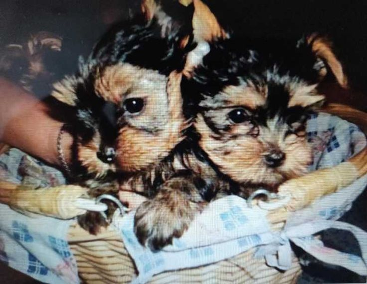 Twoo Adorable Yorkie Puppies For Adoption i have nice baby