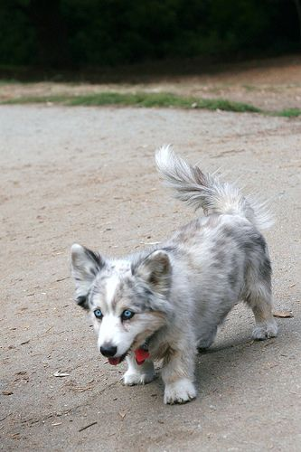Starbuck - 11 y o cardigan corgi! LOVE!  I believe that this is a corgsky, corgi/husky mix.