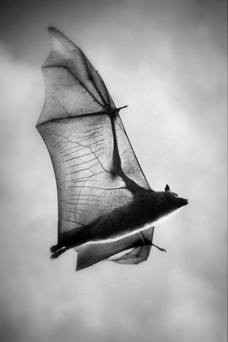 Original en color en National Geographic http://tazintosh.com/en/my-flying-bat-selected-by-national-geographic/