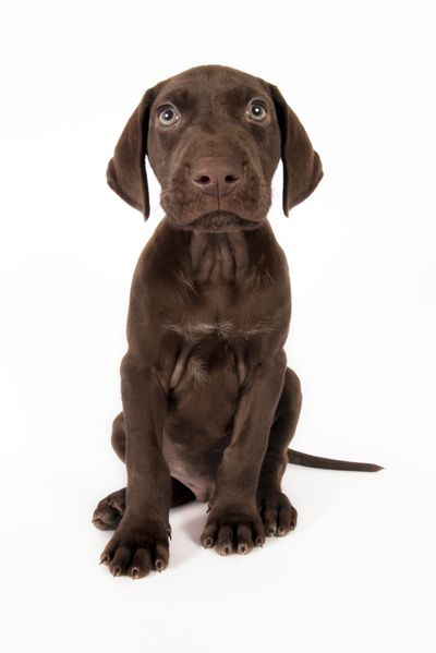All Brown German Shorthaired Pointer. This Might Be Our
