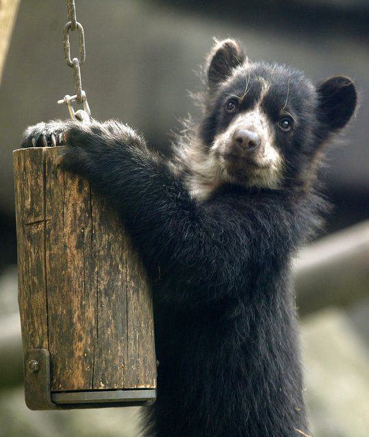 A young spectacled bear, which was born a few months ago and does not have a name yet, plays in his open-air enclosure at the zoo in Duisburg, Germany, 31 March 2014. Spectacled bears are the only bears originally living in South America. (Photo by Roland Weihrauch/EPA)