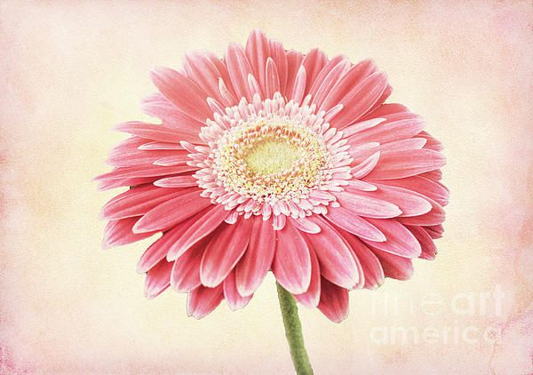 Single Gerbera By Lynn Bolt Gerbera Flower Photos Photography Competitions