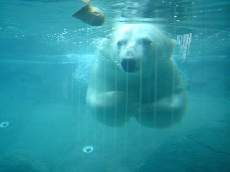 polar bears in Cochrane, Ontario