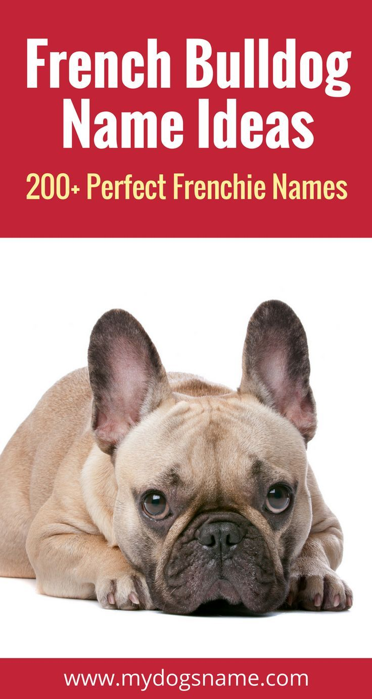 200 Perfect French Bulldog Names My