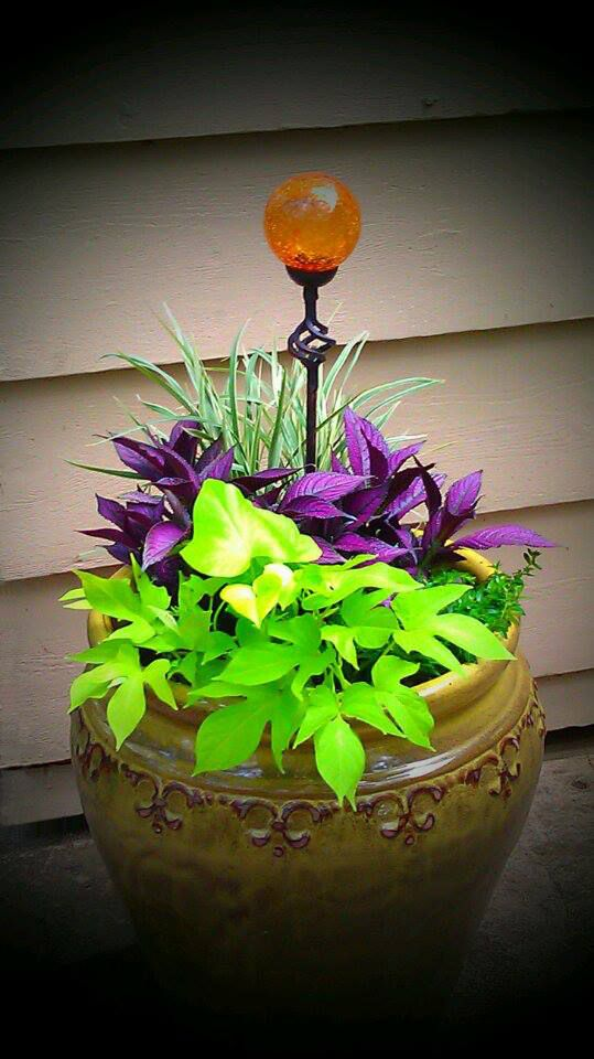 Container Gardening Variegated Lirope Purple Persian Shield Mexican Heather And Ornamental