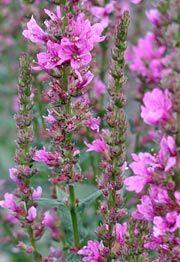 Lythrum salicaria 'Robert' - Blut-Weiderich