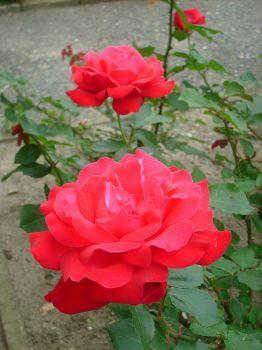 libochovické růže- už aby kvetly (80 pieces)