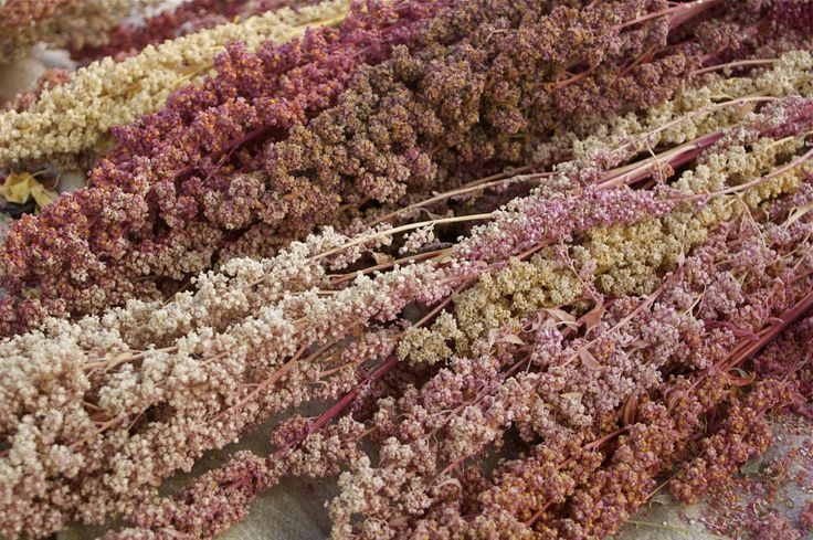 What Is Quinoa: Learn About Quinoa Plant Benefits And Care
