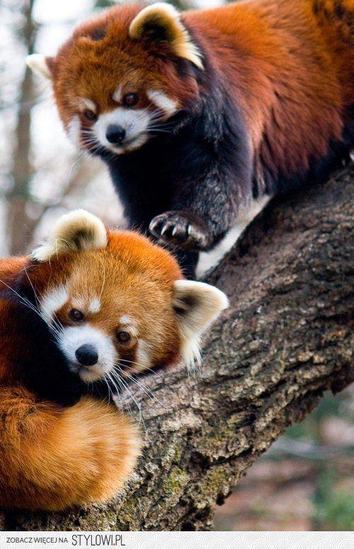 Cute Little Red Pandas ☆ | Bear | Pinterest