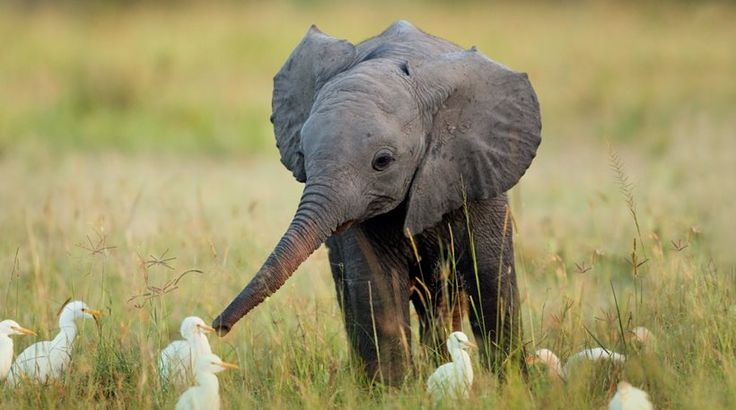 Από τους ειρηνιστές χιμπατζήδες στους κλαμένους ελέφαντες: Και τα ζώα έχουν συναισθήματα